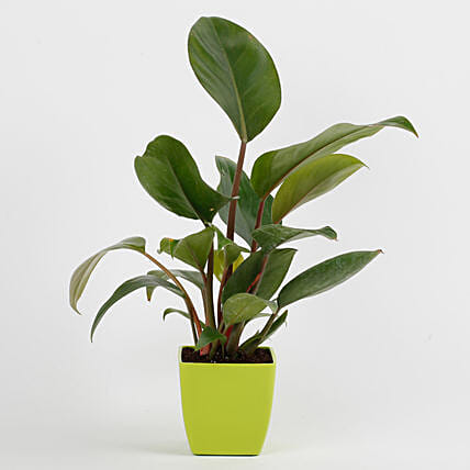 Philodendron Red Plant in Imported Plastic Pot: Send Good Luck Plants
