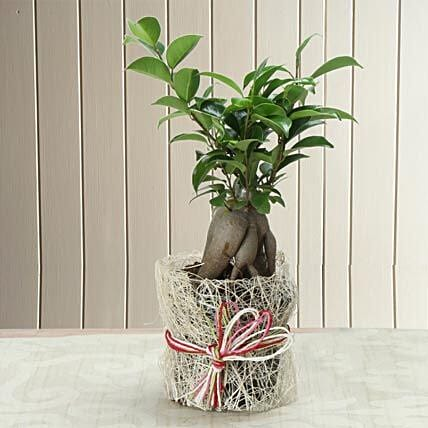 Potted Ficus Bonsai Plant: Gifts for Hug Day