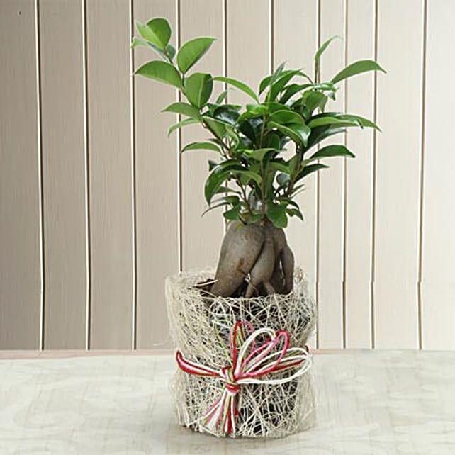 Potted Ficus Bonsai Plant: Rare Plants