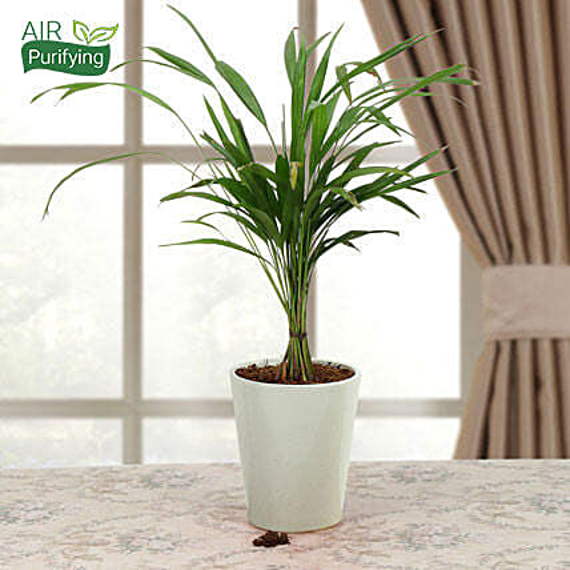 Refresh Areca Palm: Ornamental Plants