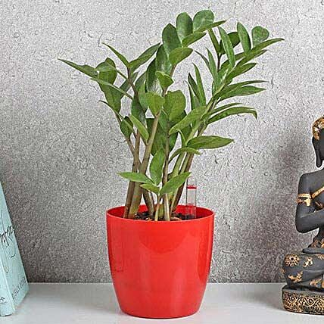 Refreshing Zamia Plant: Office Desk Plants