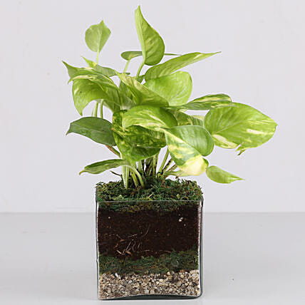 "Scindapsus Gold King Plant 4"" Glass Terrarium: Gift Ideas"