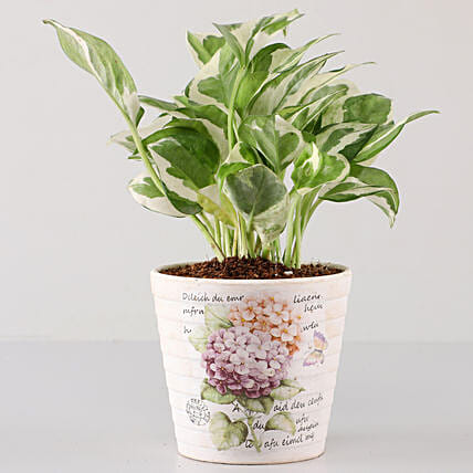 Scindapsus N'Joy In Butterfly Découpage Planter: Gifts to India