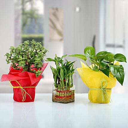 Set of 3 Good Luck Plants: Succulents and Cactus Plants