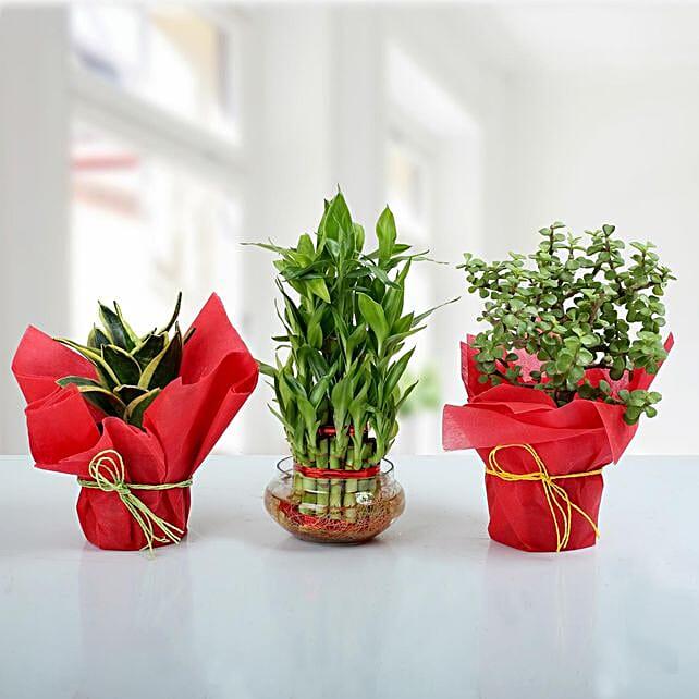 Set of 3 Prosperous Plants: Succulents and Cactus Plants