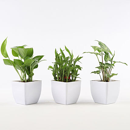 Set of Foliage & Bamboo Plants In White Pot: Bamboo Plants