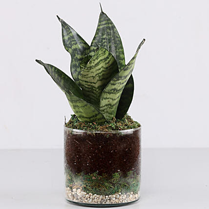 "Snake Plant 4"" Glass Terrarium: Gifts to India"