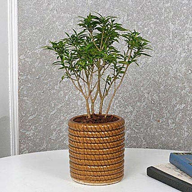Soothing Gardenia Dwarf Plant: Spiritual and Vastu Plants