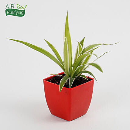 Spider Plant in Imported Plastic Pot: Outdoor Plants