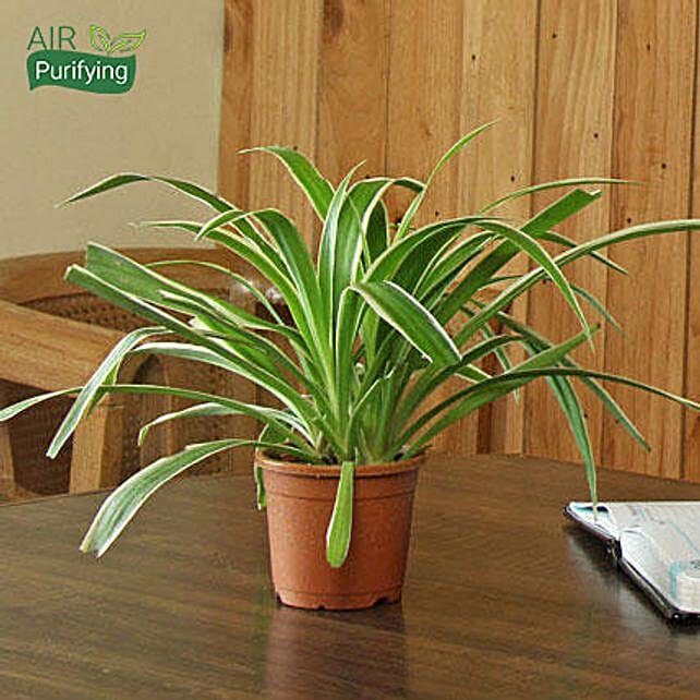 Spider Plant: Office Desk Plants