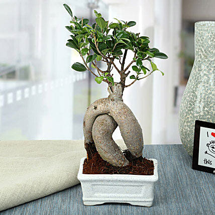 Splendid Ficus Ginseng Bonsai Plant: Hug Day Gifts