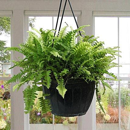 Stunning Boston Fern Plant: Exotic Plant Gifts