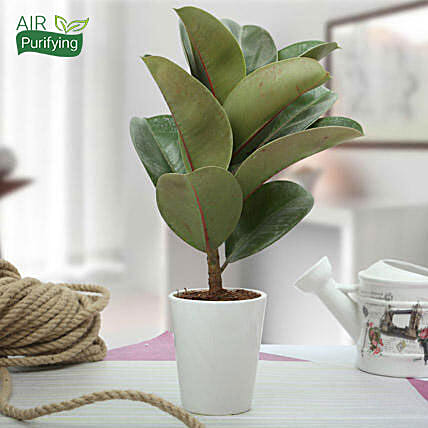 Stunning Rubber Plant: Exotic Plants