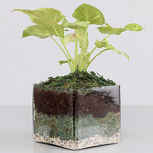 "Syngonium Plant 4"" Glass Terrarium: Gifts to India"