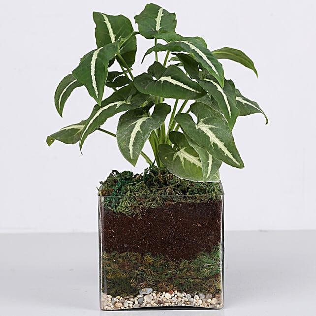 """Syngonium Plant 4"""" Square Glass Terrarium: Ornamental Plants"""