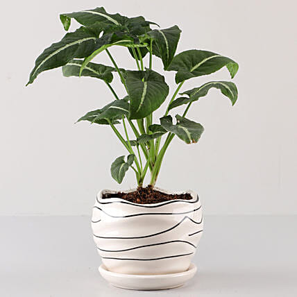 Syngonium Plant In White Wave Planter: Buy Indoor Plants