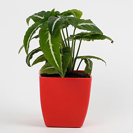 Syngonium Wedlendi Plant in Imported Plastic Red Pot: Cactus and Succulents Plants