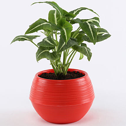Syngonium Wendlandii In Red Pot: Gifts for Teachers Day