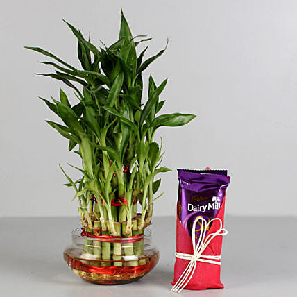Three Layer Lucky Bamboo with Dairy Milk Silk: Cadbury Chocolates