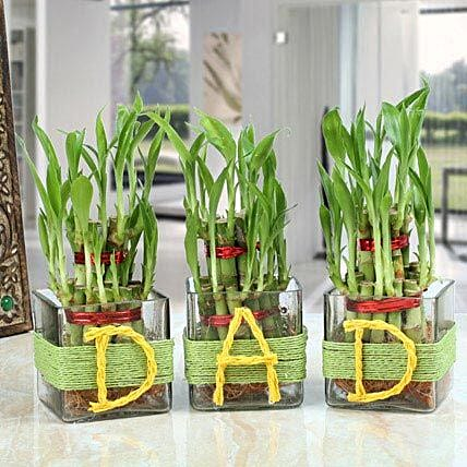 Three Lucky Bamboo Plants For Dad: Exotic Plant Gifts