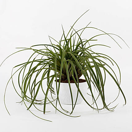 Tilandsia Stricta Air Plant In Diamond Cut Melamine Pot: Exotic Plant Gifts