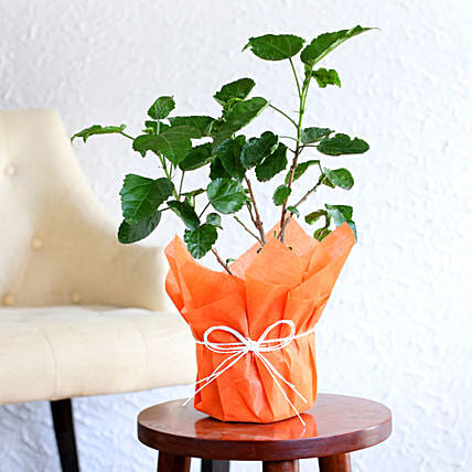 Tropical Hibiscus Plant: Home Decor