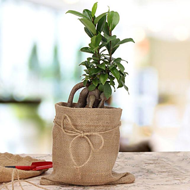 Amazing Ficus Microcarpa Plant: Ornamental Plants