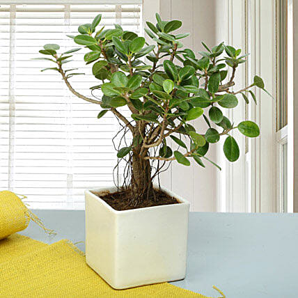 Attractive Ficus Iceland Bonsai Plant: Desktop Plants