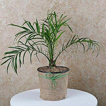 Decorative Phoenix Palm Plant:
