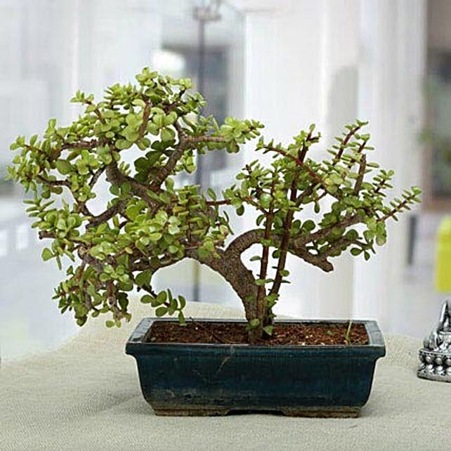 Fabulous Jade Bonsai Plant: Premium Gifts