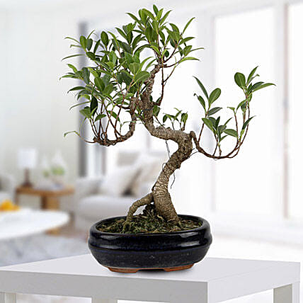 Gorgeous Ficus S shaped Plant: Gifts for 50Th Anniversary
