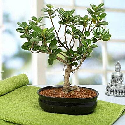 Lovely Ficus Iceland Bonsai Plant: Air Purifying Plants