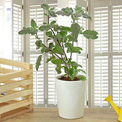 Potted Basil Plant: Herbs and Medicinal Plants