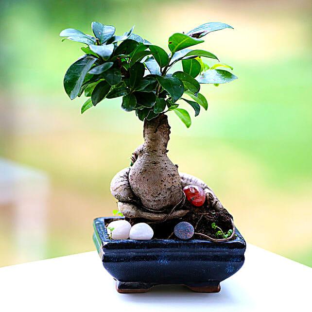 Beautiful Ficus Microcarpa Plant: Potted Plants