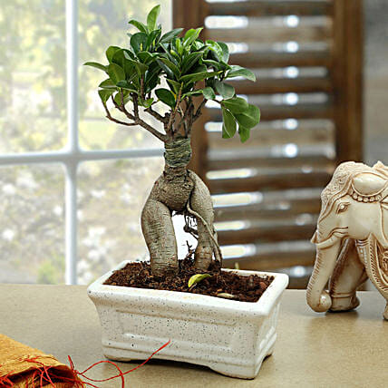 Marvellous Bonsai Plant: Gifts to Begusarai