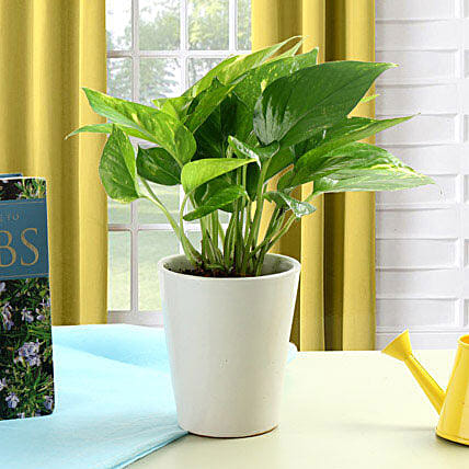 Striking Money Plant: Air Purifying Plants