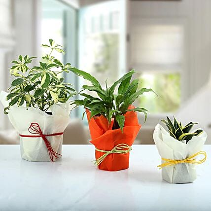 Set of 3 Evergreen Plants: Send Shrubs