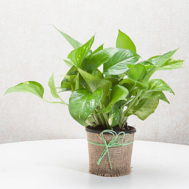 Gift Money Plant for Prosperity: Good Luck Plants