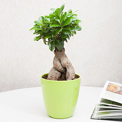 Exotic Ficus Ginseng Bonsai Plant: Potted Plants