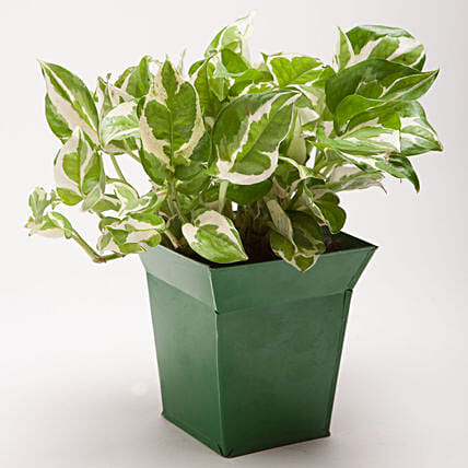 White Pothos Plant in Bucket Shaped Metal Pot: