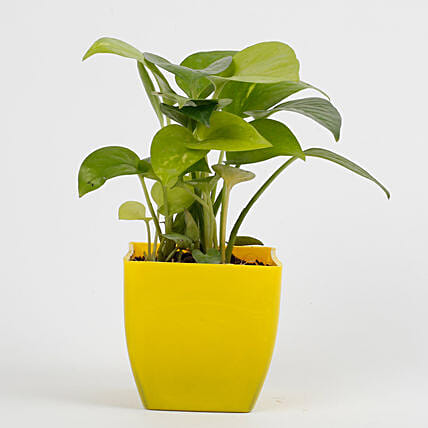 Golden Money Plant in Imported Plastic Pot: Send Bhai Dooj Gifts to Ludhiana