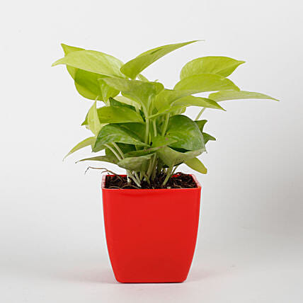 Golden Money Plant in Red Imported Plastic Pot: Send Anniversary Gifts for Her