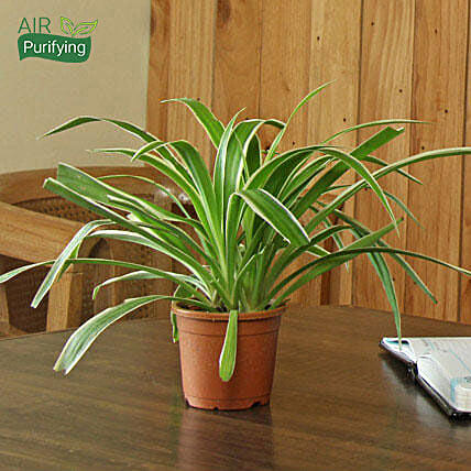 Spider Plant: Office Desk Plants