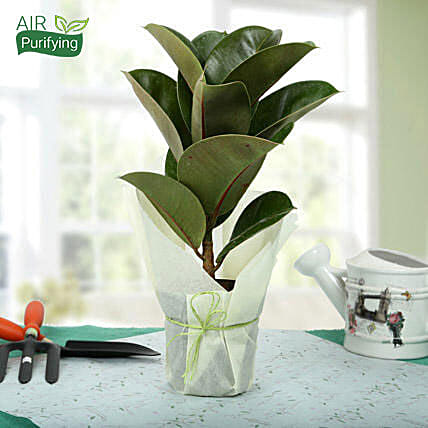Gorgeous Rubber Plant: Exotic Plants