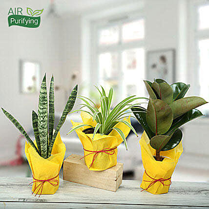 Live Green Trio Plants: Air Purifying Plants
