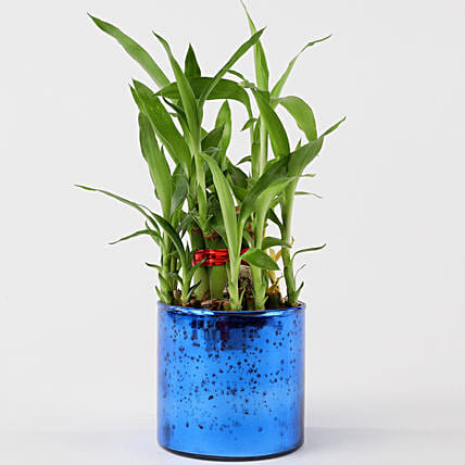 2 Layer Lucky Bamboo In Blue Glass Vase: Lucky Bamboo Plants