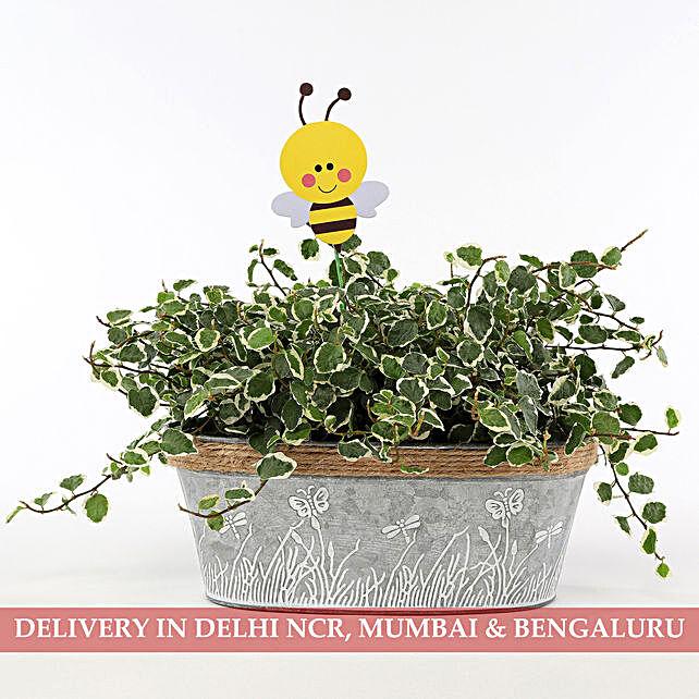 Ficus Pumila Plant In Metal Planter: Indoor Plants