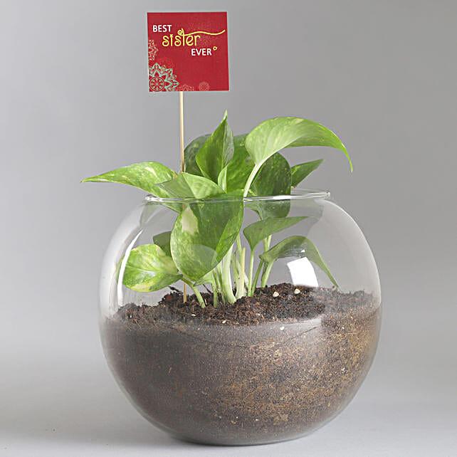 Best Sister Money Plant Terrarium: