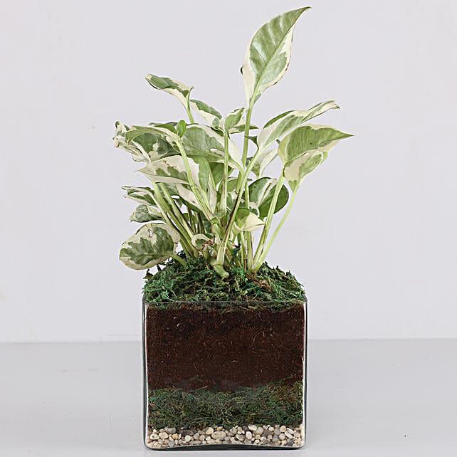 """Scindapsus N'Joy Plant 4"""" Glass Terrarium: Terrariums Plants"""