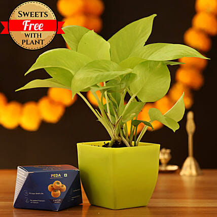 Golden Money Plant & Peda Sweet: Sweets Delivery
